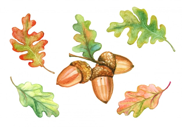 水彩のオークの葉とドングリのセット。