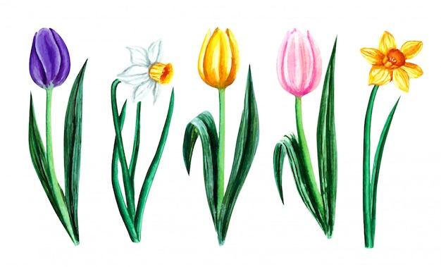 水彩のチューリップと水仙が白い背景で隔離のセットです。グリーティングカード、結婚式の招待状、花のポスターや装飾用の花のイラスト。
