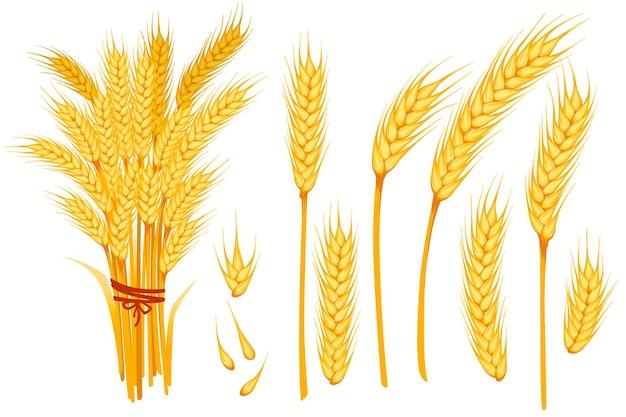 Набор пшеницы желтые спелые колоски и зерна пшеницы плоские векторные иллюстрации, изолированные на белом фоне.