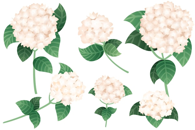 녹색 줄기와 잎 평면 벡터 일러스트와 함께 흰색 수국 꽃 세트