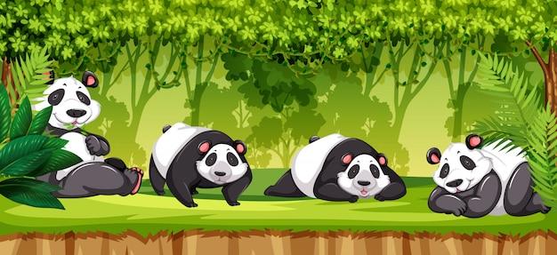 Set of pandas in jungle