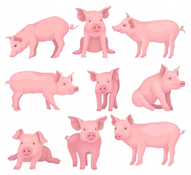 Set of pigs in different poses. cute farm animal with pink skin,  snout, hooves and big ears. domestic livestock.  elements for children book or poster. cartoon style illustrations.