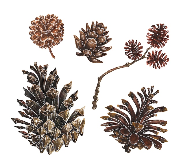 Set of pine and larch cones with branch watercolor illustrations