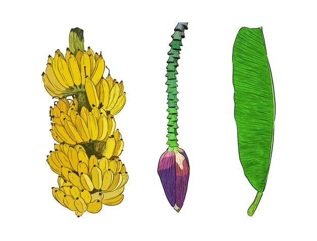 Set of pisang awak banana, hand draw sketch.