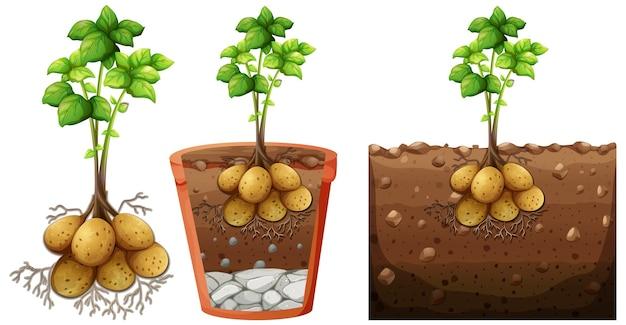 Set di pianta di patate con radici isolate su priorità bassa bianca