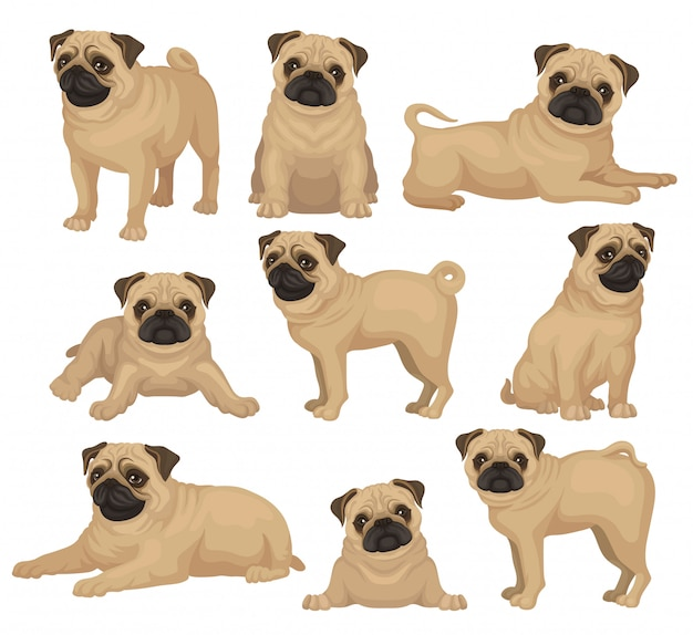 Set of pug puppy in different poses. cute toy dog with short beige coat, wrinkled muzzle and curled tail. home pet. domestic animal. graphic element for poster of vet clinic or kennel club.
