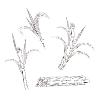 Set of raw sugar cane plant stalks.
