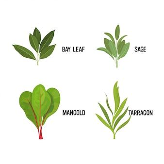 Установить реалистичные свежий лавровый лист шалфей манголд эстрагон трава зеленые листья коллекция концепция здорового питания Premium векторы
