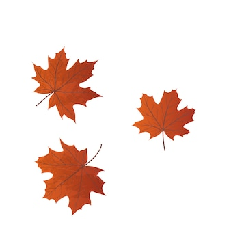 Set of realistic maple leaves isolated on a white background.