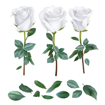 Set of realistic rose design isolated on white