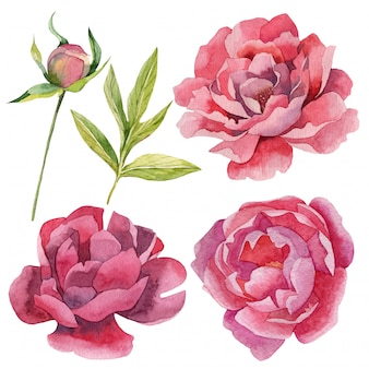 Set of realistic watercolor peonies flowers and buds
