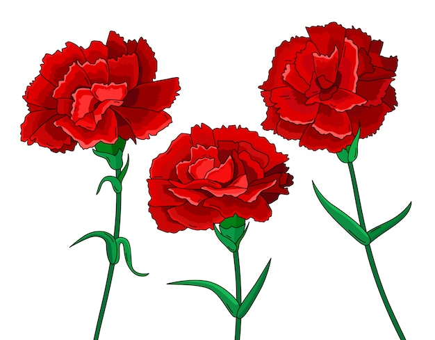 Set of red carnations on white background