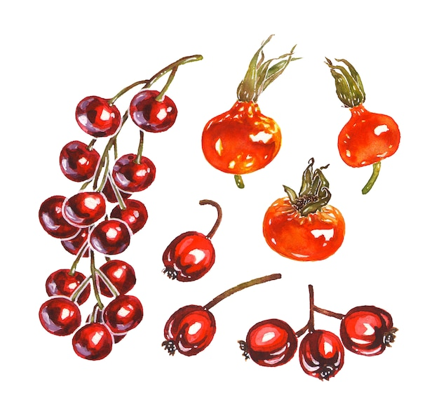 Set of red hawthorn, rowan, rosehip and cherry bird tree berry illustrations