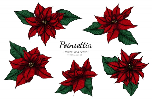 Set of red poinsettia flower drawing illustration with line art