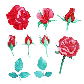 Set of red rose watercolor painted
