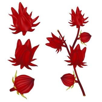빨간 로젤 과일을 설정하십시오. 완벽한 현실적인 그림. 흰색 바탕에.