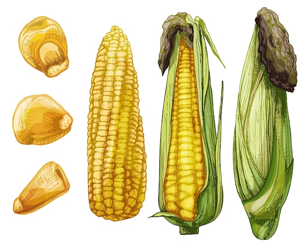 Set ripe cob of corn from cleaned to closed and separately grains. different degree of purification of the leaves. vector color vintage hatching illustration isolated on a white background.