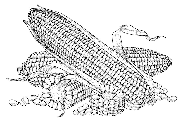Set of ripe corn hand drawn illustration