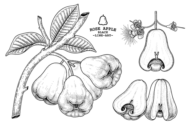 Set of rose apple fruit hand drawn elements botanical illustration