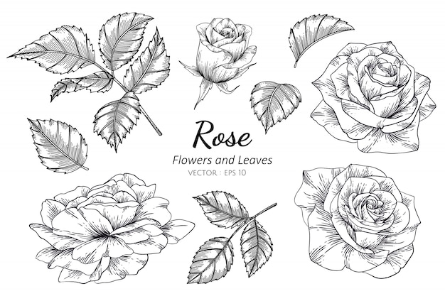 Set of rose flower drawing illustration with line art.