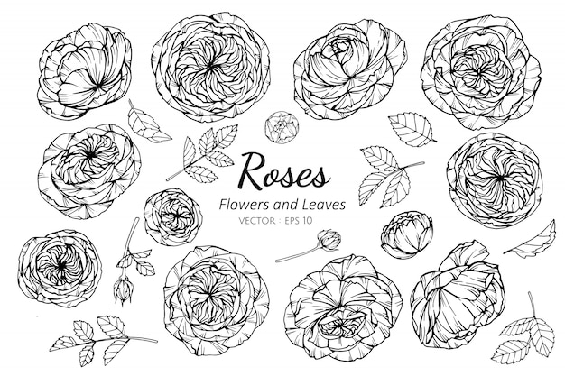 Set of rose flower and leaves drawing illustration.