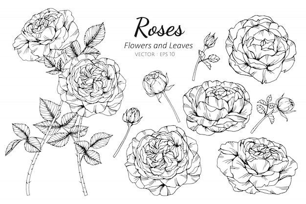 Set of rose flower and leaves drawing illustration.