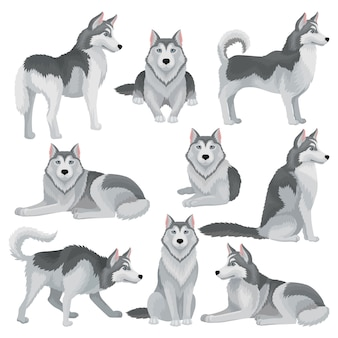 Set of siberian husky in different poses. adorable domestic dog with gray coat and blue shiny eyes. home pet