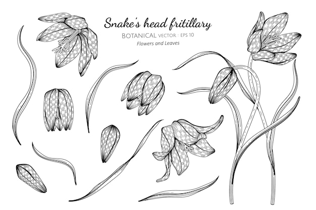 Set of snake's head fritillary flower and leaf hand drawn botanical illustration with line art on white backgrounds.