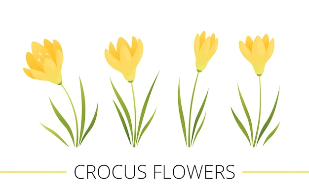Set of spring flowers. yellow crocuses with leaves. cartoon flat vector illustration. isolated on a white background.