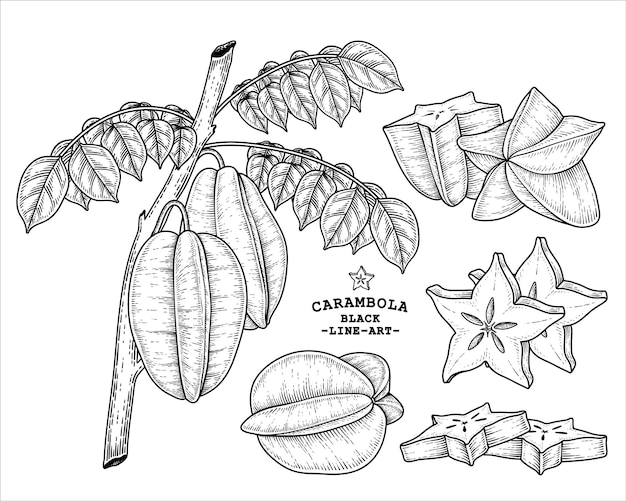 Set of star fruit or carambola fruit hand drawn elements botanical illustration