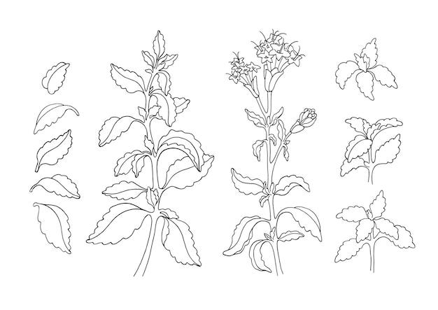 Set of stevia plant branch green leaf flower