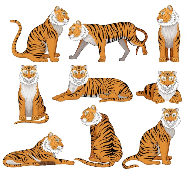 Set of tiger in different poses. large wild cat with orange coat and black stripes. powerful predatory animal. wildlife theme.