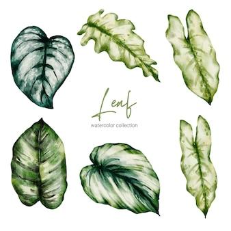 Set of tropical elegant monstera and caladium in watercolors style
