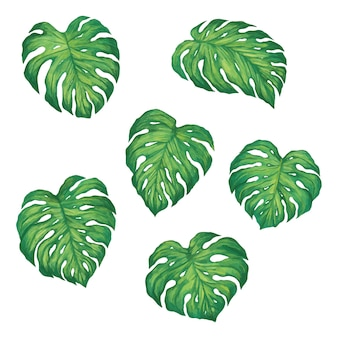 Set of tropical monstera leaves