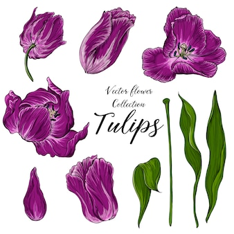 Set of vector colored tulip flowers, spring flowers
