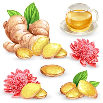 Set vector illustration of a fresh ginger root, sliced, flower and ginger tea.
