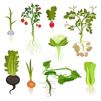 Set of vegetables with roots. organic and healthy food. natural farm products. cultivated plants