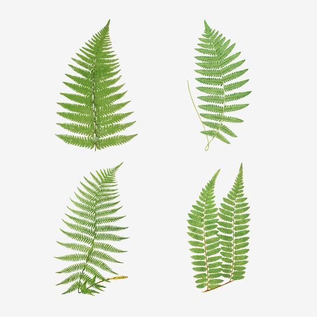 Set di foglie di felce vintage vector