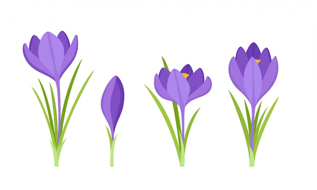 Set of violet crocus flowers with leaves isolated on white.
