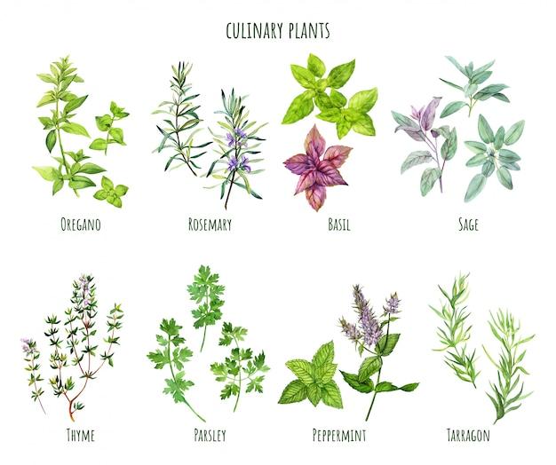 Set of watercolor cooking herbs, mediterranean cuisine