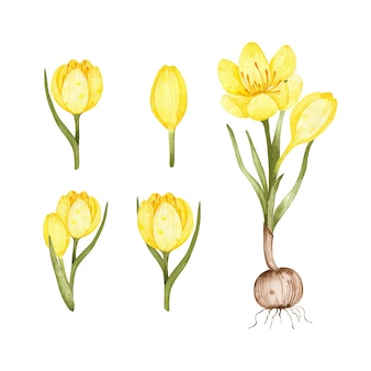 Set of watercolor crocuses. yellow flowers.