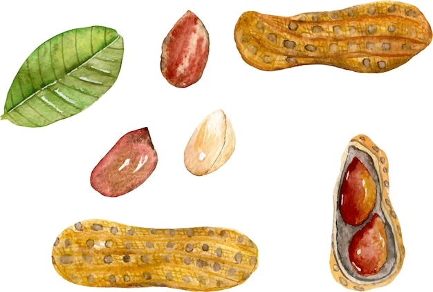 Set of watercolor peanut elements