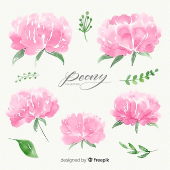 Set of watercolor peony flowers