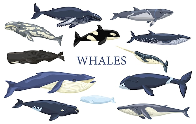 흰색 배경에 고립 고래를 설정합니다. 컬렉션 해양 동물 푸른 고래, 회색, 혹등, 지느러미, 밍크, 나비 머리, 오른쪽, 벨루가, 카샬롯, 일각고래 및 범고래. 어떤 목적을 위한 벡터 일러스트 레이 션.