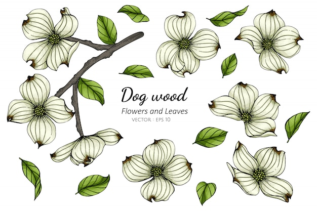 Set of white dogwood flower and leaf drawing illustration