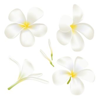 흰색 프르 메리아 꽃을 설정하십시오. 완벽한 현실적인 그림. 흰색 바탕에.