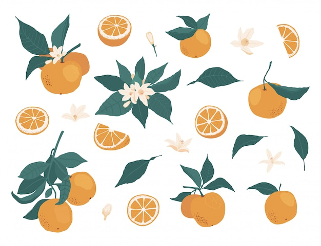 Set of whole oranges on a branch with leaves and pieces, flowers isolated on a white  in a flat style.  stock illustration Premium Vector