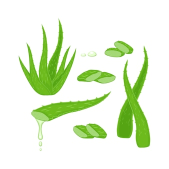 Set with aloe vera plant, leaves and different cutting pieces,  drops elements  illustration isolated on white background.  medicinal plant illustration.