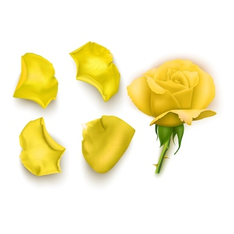 Set of yellow rose petals