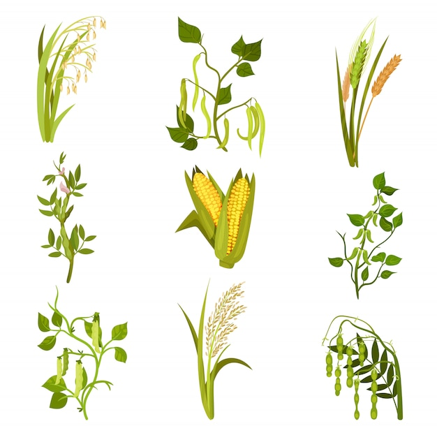 Sett of cereals and legumes plants. agricultural crop. different types of beans and grains